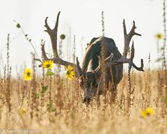 Big Buck With Huge Rack (dcstep) Tags: antelopeislandstatepark utah greatsaltlake nature sony sonya9 fe100400mmf4556gmoss fe 14x teleconvertersaony a7riiife 1224mm f4 gall rights reservedcopyright 2018 david c stephens buck bigbuck muledeer deer male rack hugerack antlers dsc9480dxo sunflowers