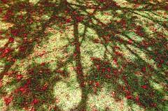 mosaic (omnia_mutantur) Tags: prato peluse green petali petals natura natureza naturaleza rosso vermelho rojo red rouge verde vert pétalas pétales pétalos rami branches ramas ramos lemarin martinica 972 martinique antilles antillas antille caraibi caribbean caribe caraïbes francia frança france