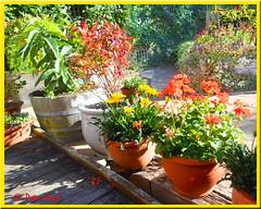 Patio planting 3 (Sussexshark) Tags: 2018 ourgarden patio planting geranium gazania blueberry