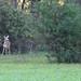 252 Deer