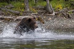 Softly, Softly (gecko47) Tags: animal mammal bear northamericanbrownbear grizzlybear chilkoriver britishcolumbia canada splash charge spray male fishing ursusarctos ursidae