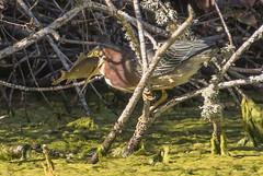 The struggle (woodwindfarm) Tags: sundaylights greenheron fish commonwealthlake