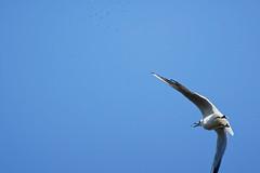Mouette rieuse A7309621_DxO (jackez2010) Tags: ilce7m3 sel14tc fe100400mmf4556gmoss bif birdinflight mouetterieuse moucherons