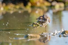 Humm qu'est ce que cela fait du bien..!!! (denis.loyaux) Tags: 4vr ariège charadriidés charadriiformes denisloyaux domainedesoiseaux mazères nikondd850 nikonafs600f northernlapwing vanellusvanellus vanneauhuppé bird france oiseau