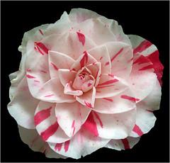 Beauty (Cornishcarolin. Stupid busy!! xx) Tags: cornwall httpswwwnationaltrustorguktrelissick nature flowers plants camellias