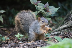 120/365/3772 (October 9, 2018) - Squirrels in Ann Arbor at the University of Michigan - October 9th, 2018