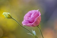 Nevena Uzurov - Lisianthus (Nevena Uzurov) Tags: lisiantus eustoma pink romantic delicate floral bokeh autumn october love nevenauzurov serbia