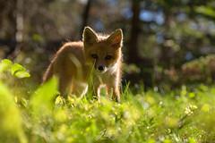 Petit curieux (jlf_photo) Tags: renard roux quebec canada sepaq bic wildlife wild red fox