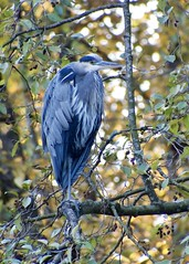 DSCF6075 (Katherine ZM) Tags: heron blue autumn fall bc canada bird