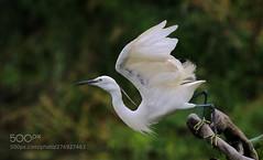 起飞 (KevinBJensen) Tags: 无人 户外 鸟类 白鹭 飞 白昼 自然 动物主题 野生动物 一只动物 水禽 生态 湿地