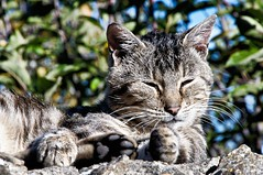 Gato en Fuentedey 2 (J.A.Glz) Tags: sony nex6 gato tamron 18250