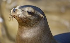 18A_1512 (Mark Ritter) Tags: seal seals macro lajolla california