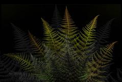 layers and layers of ferns (marianna_armata) Tags: fern leaves autumn fall marianna armata