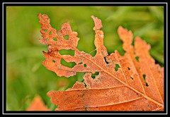 """New Beginning..."" #1 (NikonShutterBug1) Tags: nikond7100 tokina100mm nature wildlife bokeh spe smartphotoeditor closeup macro leaf autumn fall flora brown 2dwf newbeginning foliage"