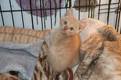 Cats and Kittens at Crafty Cat Rescue (Ann Arbor, Michigan) - Wednesday October 17th, 2018 (cseeman) Tags: cats pets craftycatrescue annarbor michigan shelter adoption catshelter catrescue caring animals kittens craftycatkittens2018 craftycatphotos10172018