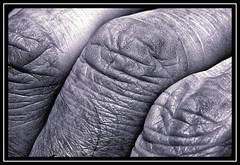 """That's a Bit Near the..."" - MACRO MONDAYS - 24.10.18 - ""Crinkled, Wrinkled, Folded or Creased"" (NikonShutterBug1) Tags: macro closeup nikond7100 macromondays tokina100mm spe smartphotoeditor blackwhite bw crinkledwrinkledfoldedorcreased"