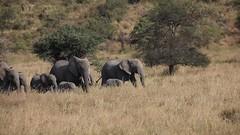 Elephants on the Run (Patrick Gregerson) Tags: savanna africa canon 5d mark iv crater sigma 150600mm tanzania outdoors outside safari wildlife animal field grass mammal landscape canon5dmarkiv serengetinationalpark elephants sigma150600mm