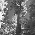 Infrared Tree thumbnail