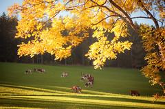 Friedliche Herbststimmung (Mariandl48) Tags: herbststimmung kühe sonnenuntergang licht schatten sommersgut wenigzell steiermark austria