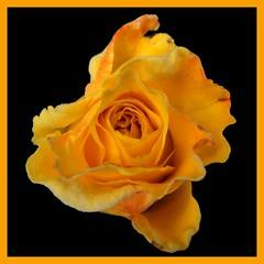 Orange Ausstellung... (schau_ma_da) Tags: 15fachmacro 2tag blume blumen blüte ipad neustadtinholstein album5 flickr quadrat rose schaumada ostsee ausgestellt montage foromontage inexplore