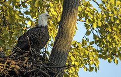 Bald Eagle watching over his domain.... (Kevin Povenz Thanks for all the views and comments) Tags: 2018 october westmichigan michigan ottawa ottawacounty ottawacountyparks grandravinesnorth nature wildlife eagle baldeagle bird birdsofprey canon7dmarkii sigma150500 outside outdoors tree nest feathers