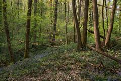 Gentian Forest (Matthijs Hollanders) Tags: gentian klokjesgentiaan bos forest vlaanderen flanders belgie belgium matthijshollanders flowers spring