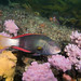 Whaaaat? Crimson banded wrasse Notolabrus gymnogenis #marineexplorer
