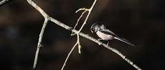 Chapim-rabilongo - (Aegithalos caudatus) - Long-tailed tit (carloscmdm) Tags: parque urbano jamor natureza selvagem chapimrabilongo aegithalos caudatus longtailed tit