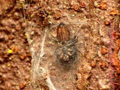 Jumping Spider in Retreat (treegrow) Tags: newzealand nature lifeonearth raynoxdcr250 arthropoda moana lakebrunner arachnida araneae salticidae