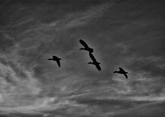 free flight of ducks (Franco-Iannello) Tags: animals nature blackwhite