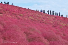 Red Kochia Carnival at Hitachi Seaside Park (_TAKATEN_) Tags: sony alpha a7rii a7rm2 sigma mc11 150mm kochia