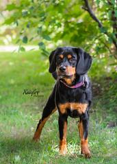 Lulu (Rainfire Photography) Tags: puppy dog mixed mutt rescue shelter adopt volunteerphotographer nikon d7200