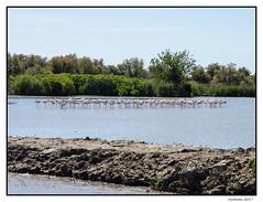 2017-05-15_Flamants roses-0020.jpg (Hacheme 26) Tags: natureetpaysages animaux oiseaux flamantrose saintesmariesdelamer provencealpescôtedazur france fr