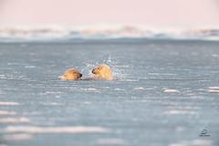 Polar Bear Surface Battle (Glatz Nature Photography) Tags: alaska barterisland glatznaturephotography kaktovik northamerica northslope polarbear ursusmaritimus nanuk nanook nanuq icebear ice snow arctic arcticalaska animal mammal bear nikond850