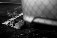 cat and shadow (jasoncremephotography) Tags: leica mm monochrom blackandwhite monochrome summilux cat feline