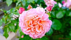 Roses (claude 22) Tags: hdr photoshop painter fleurs roses rouge red flowers blumen nature colors couleurs bretagne brittany france breizh