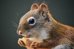 Let s go nuts, in Explore. (Daantje1704) Tags: redsquirrel squirrel treesquirrel rodent knaagdier eekhoorn animal nuts autumn fall season forest explore greatphotographers greaterphotographers greatestphotographers ultimatephotographers