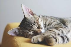 Adorable animal cat - Credit to https://homegets.com/ (davidstewartgets) Tags: adorable animal cat closeup cute domestic feline fur kitten kitty lazy little looking mammal paws pet portrait sleep sleepy tabby whiskers