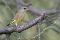 Greenfinch (cliveyjones) Tags: greenfinch sculthorpemoor