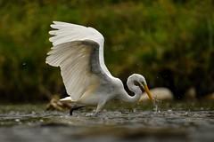Great Egret (Rob E Twoo) Tags: toronto bird explore canada nature wildlife humberriver