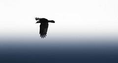 Birds as Art (pootlepod) Tags: canon60d closeup candid colour contrast artbirdsasart crows gulls water artistic rspb nature stokegabriel stoke gabriel devon england raw natural fauna millpool flight feathers steveedwards