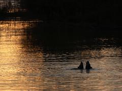 rc_wildlife_34 (R.C. Reshel) Tags: wildlife animals tiere aquarium bauernhof ozean säugetiere vögel insekten schmetterlinge fische enten goldenestunde tauchvögel see wasser sonnenuntergang