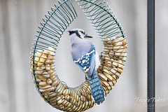 Blue Jay at the feeder