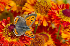 Small Copper (Richard Becker Photography) Tags: