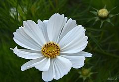 Thursday`s  Flower (Eleanor (No multiple invites please)) Tags: cosmos whiteflower buds spotmeter busheyrosegarden bushey uk nikond7200 september2018