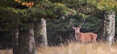 _DSC3994 (Patrick d'Alsace) Tags: france forêt faune alsace animaux automne cerfs