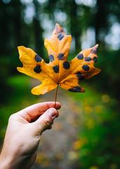 An Autumn Gift (John Westrock) Tags: leaf autumn hand fall depthoffield bokeh sigma35mmf14dghsmart canoneos5dmarkiii snoqualmie washingtonstate pacificnorthwest