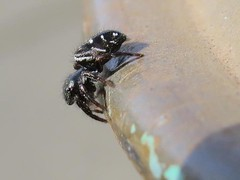 Black And White Spider (Shelley Penner) Tags: arachnids spiders blackandwhite tiny