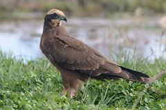 Aguilucho lagunero (hembra) (Sento74) Tags: aguilucholagunero circusaeruginosus aves birds rapaces nikond500 tamron150600g2