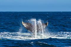 whale10Oct5-18 (divindk) Tags: anacapa anacapaisland channelislands channelislandsnationalpark humpbackwhale megapteranovaeangliae sanmiguelisland santabarbara santacruzisland santarosaisland underwater ventura blueocean cetacean diverdoug flukes marine marinemammal ocean reef sea underwaterphotography whale whaletail